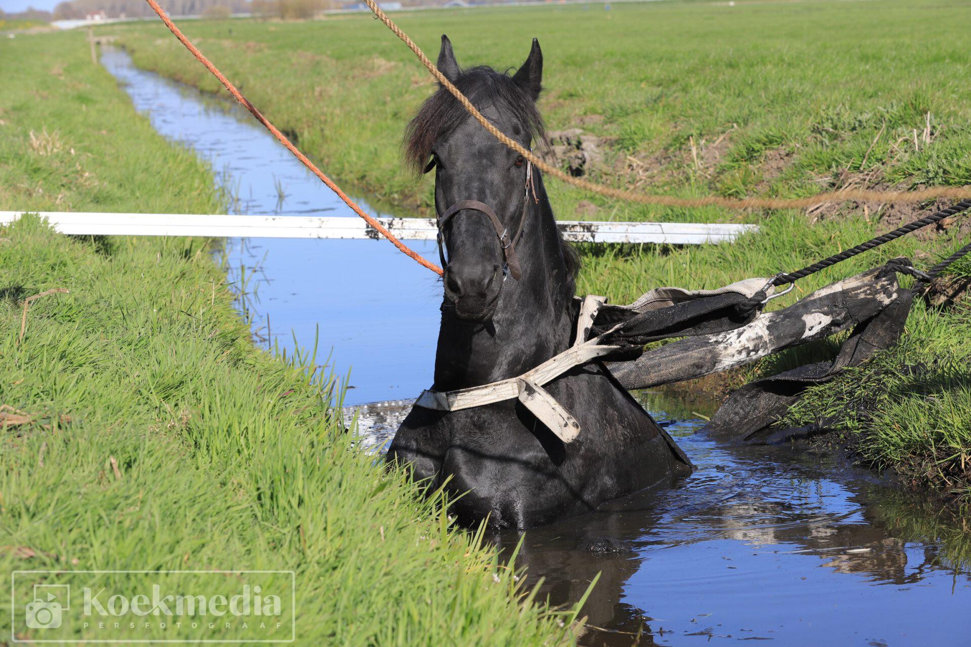 Paard zit vast in sloot Zoutveenseweg Schipluiden